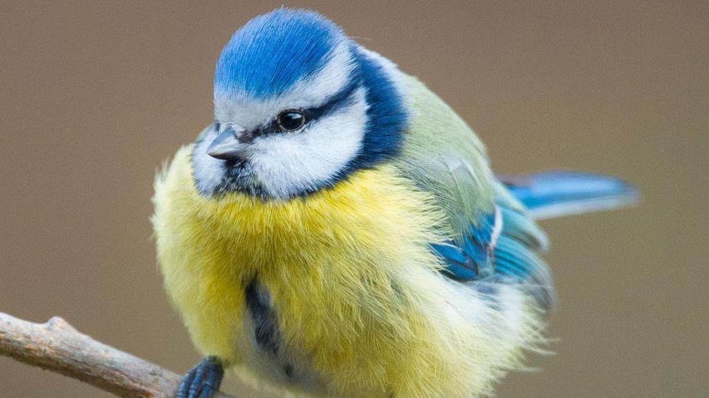 A blue tit