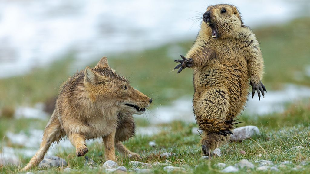 Yikes! Fox and rodent battle is top wildlife photo - BBC News