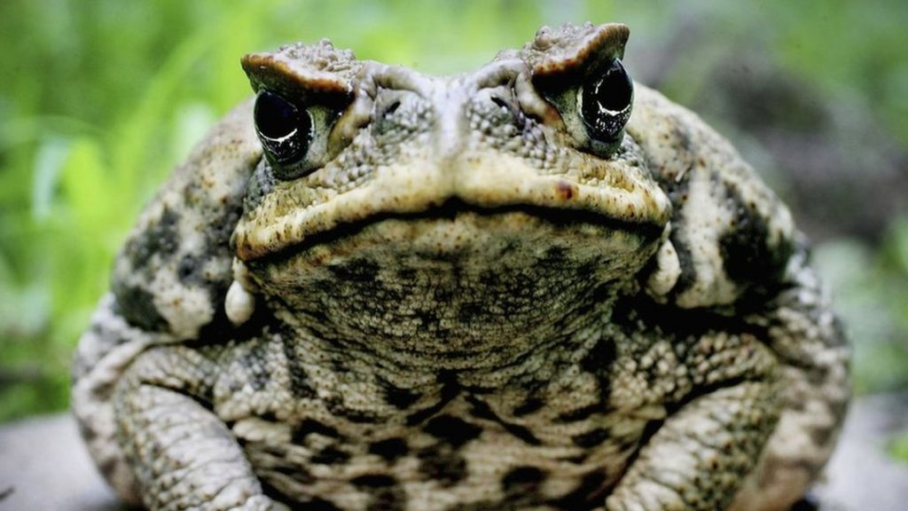 The rapid spread of Australia's cane toad pests - BBC News