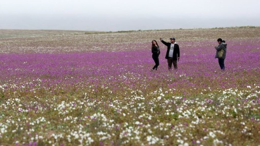 Chile's Atacama desert: World's driest place in bloom after surprise rain