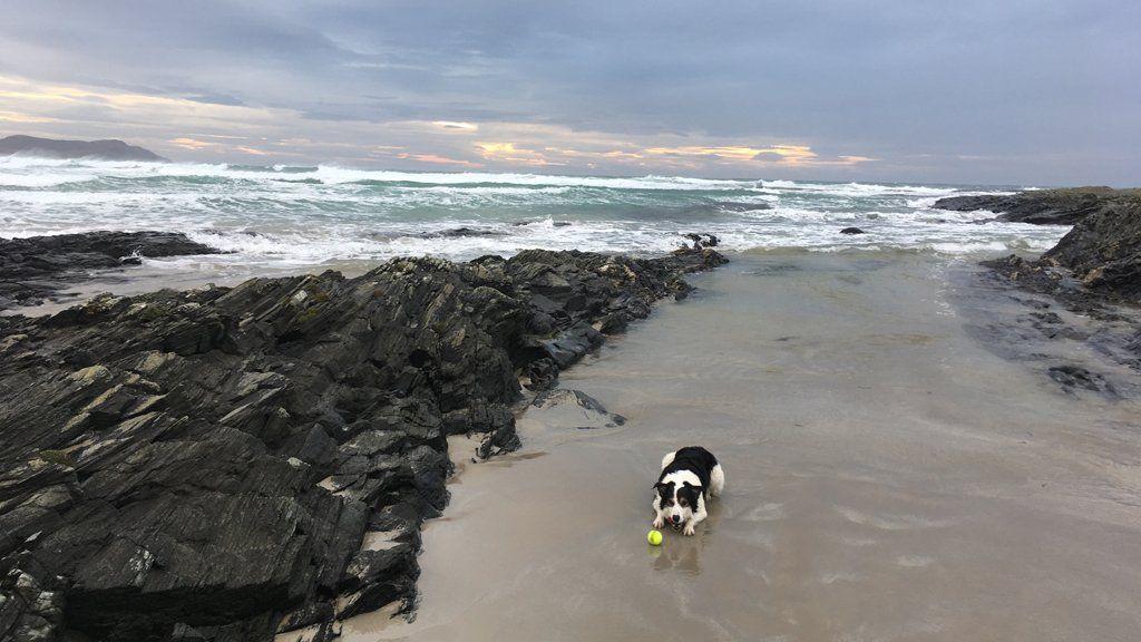 Tam the collie dog enjoying a windy winters day on machair bay Isle of Islay