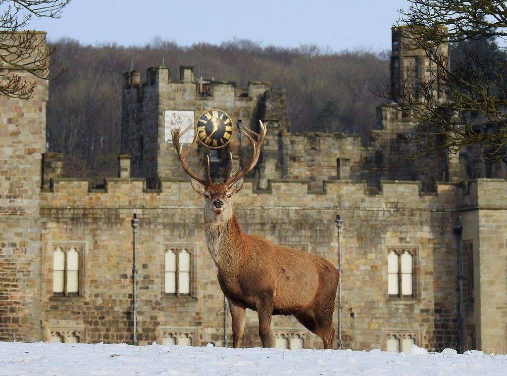 January 2021 - Red stag in the snow under the Castle Clock