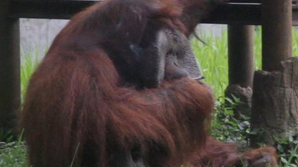 Indonesia zoo condemned over smoking orangutan - BBC News