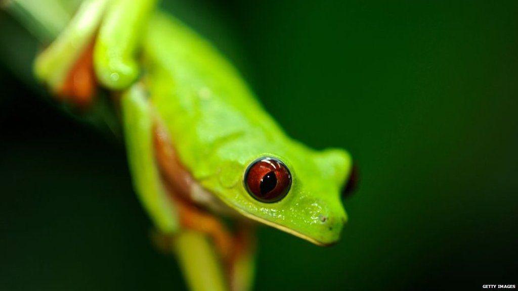 Red-eyed tree frog of Panama