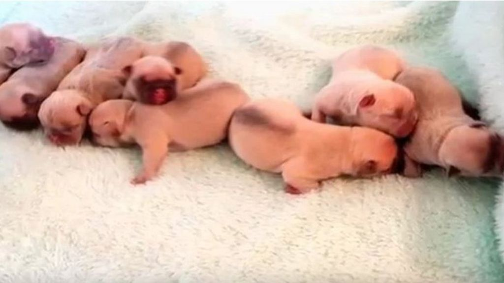 Robbers steal eight French bulldog puppies in 'terrifying' raid