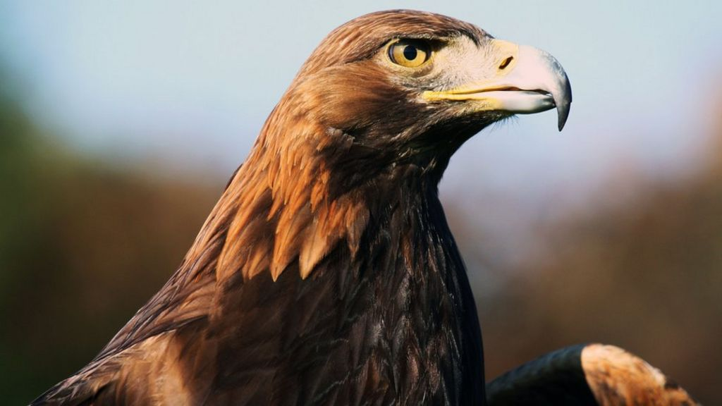 Remains Of World S Oldest Ringed Golden Eagle Found In Sutherland Bbc News
