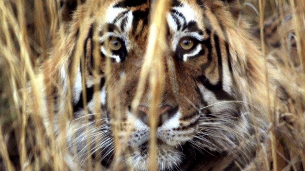 India's tiger killings: A success story gone wrong? - BBC News