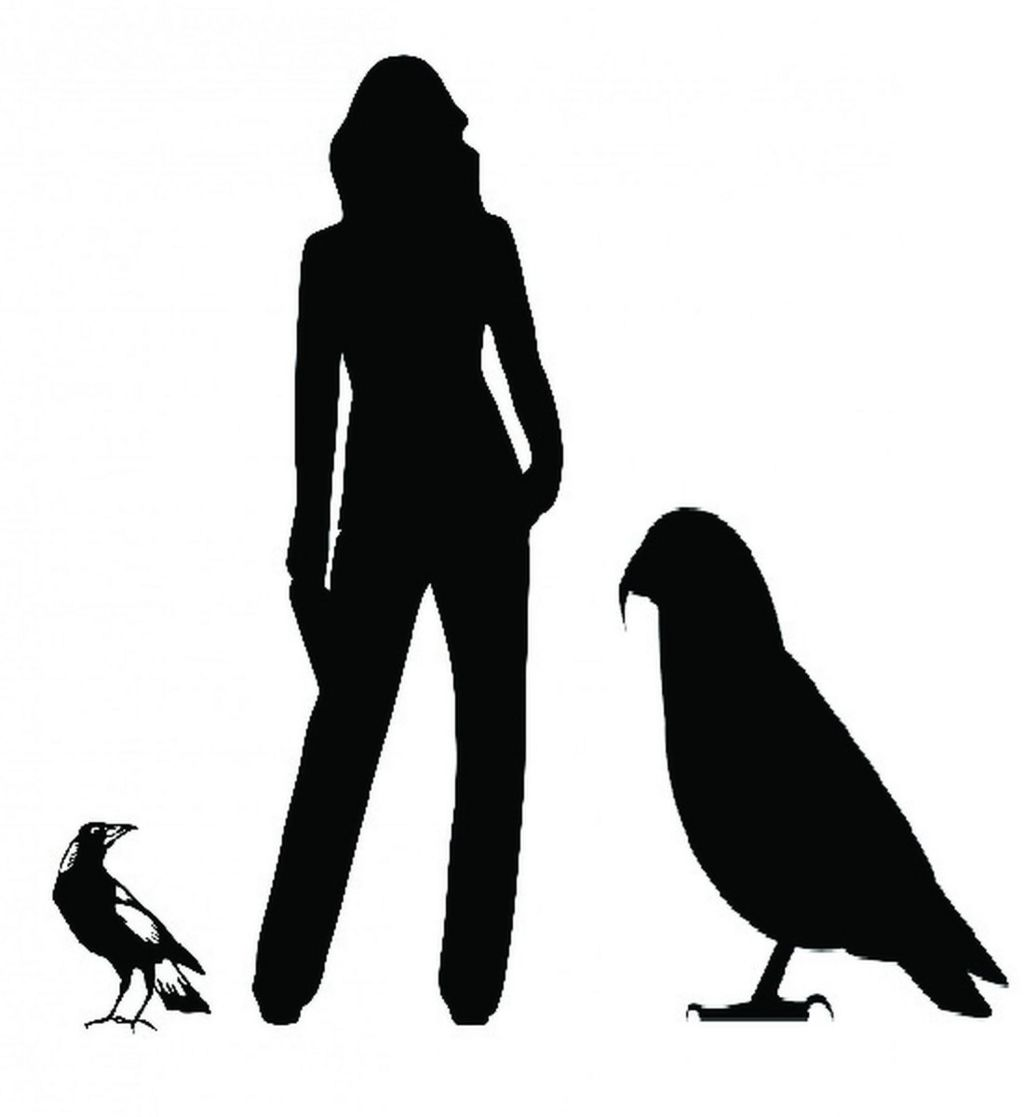 A graphic showing the size of the giant parrot in comparison to a human