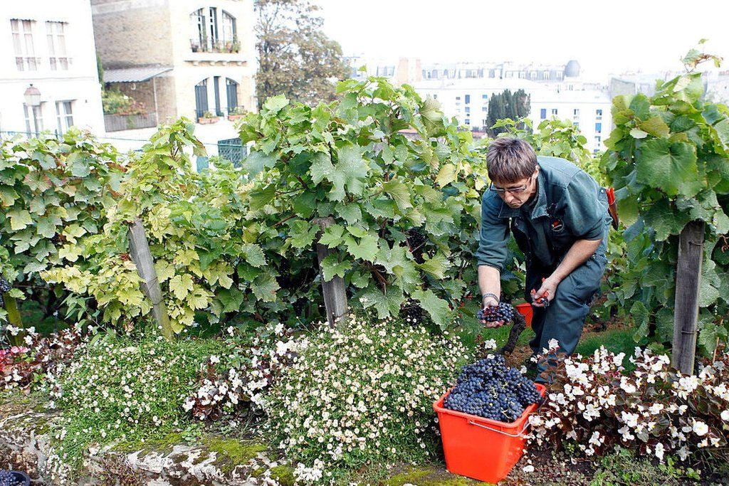 Mengunjungi Kebun Anggur Tersembunyi Di Paris Bbc News Indonesia