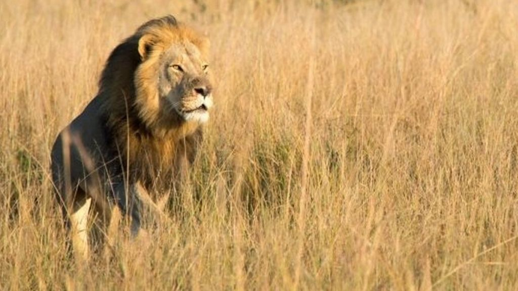 Xanda, son of Cecil the lion, 'killed by hunter' in Zimbabwe