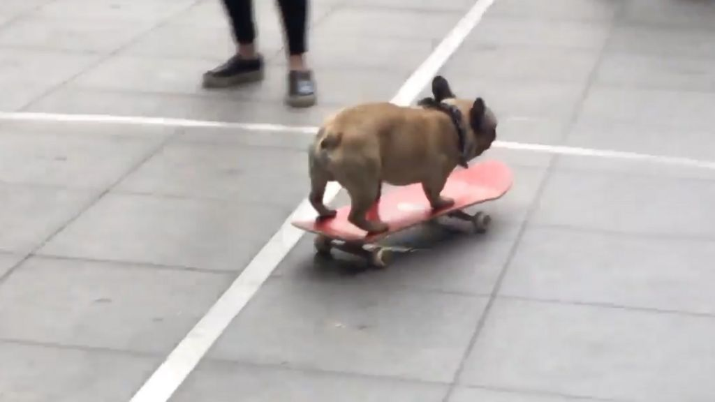 french bulldog makes bold attempt to skateboard into bbc. Black Bedroom Furniture Sets. Home Design Ideas