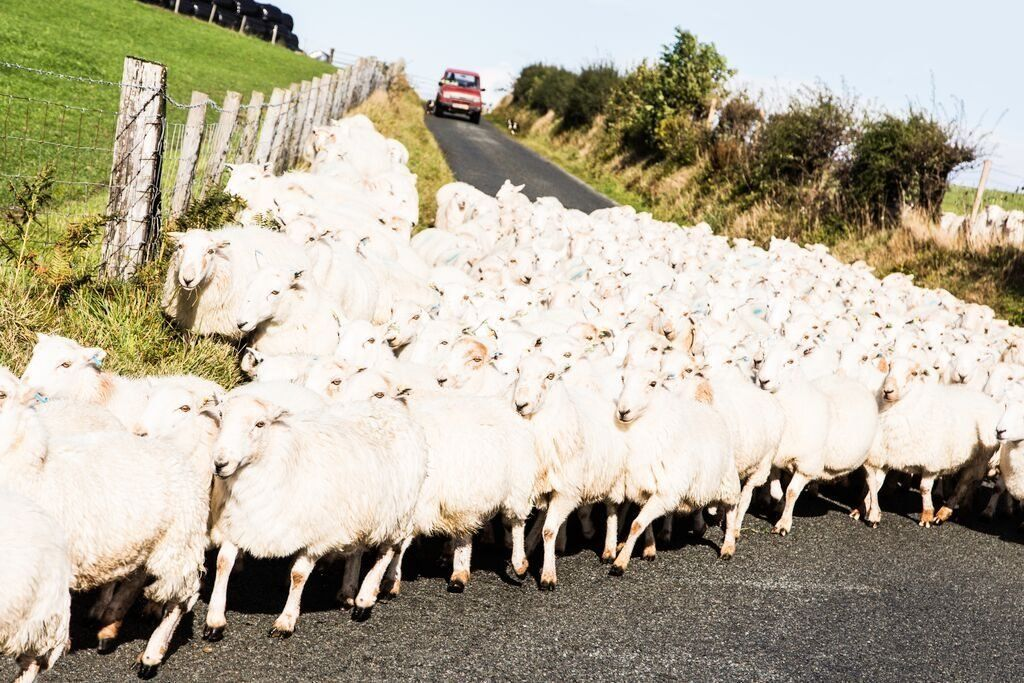 Gobeithio nad ydych chi ar frys! // Its yet aniother North Wales road flock!