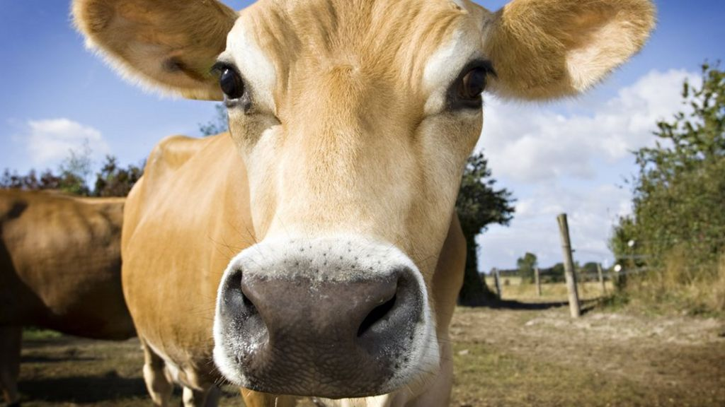 'Mind-blowing' cows hold clue to beating HIV - BBC News
