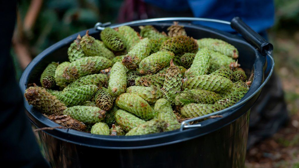 Seed cones