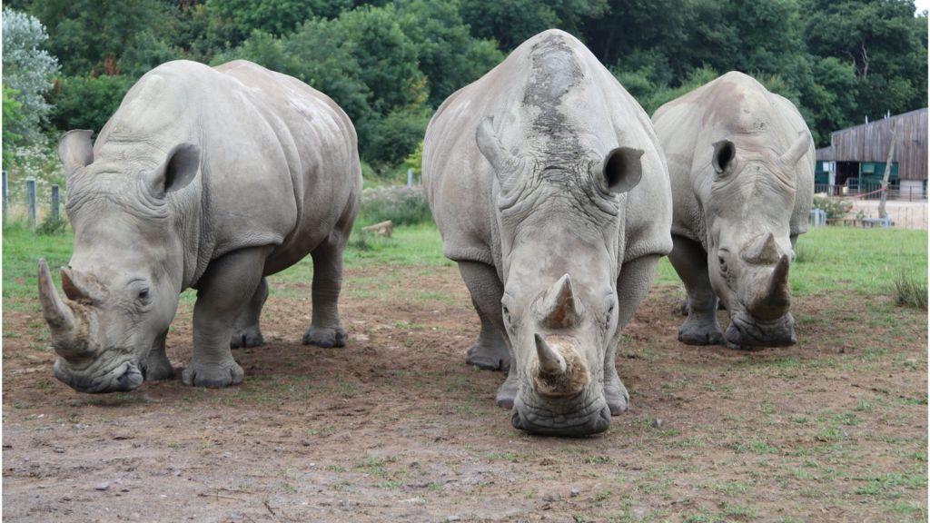 UK rhino eggs 'could save last northern whites' - BBC News