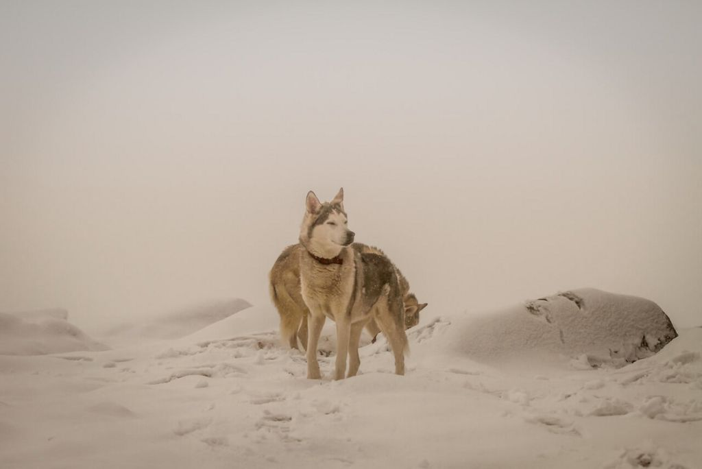 Dogs in snow in Southern Cairngorms
