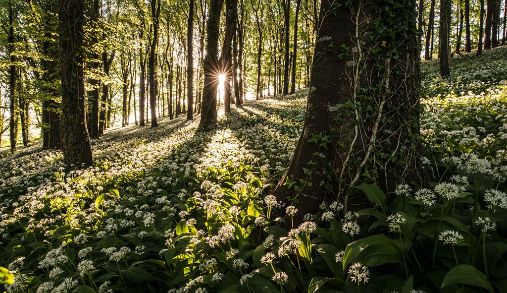 The wild garlic carpet - by Robin Goodlad (UK)