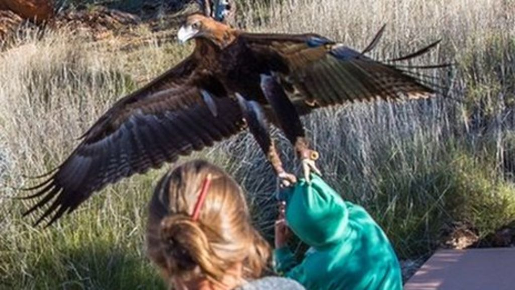 Image result for wedge tailed eagle attacks child