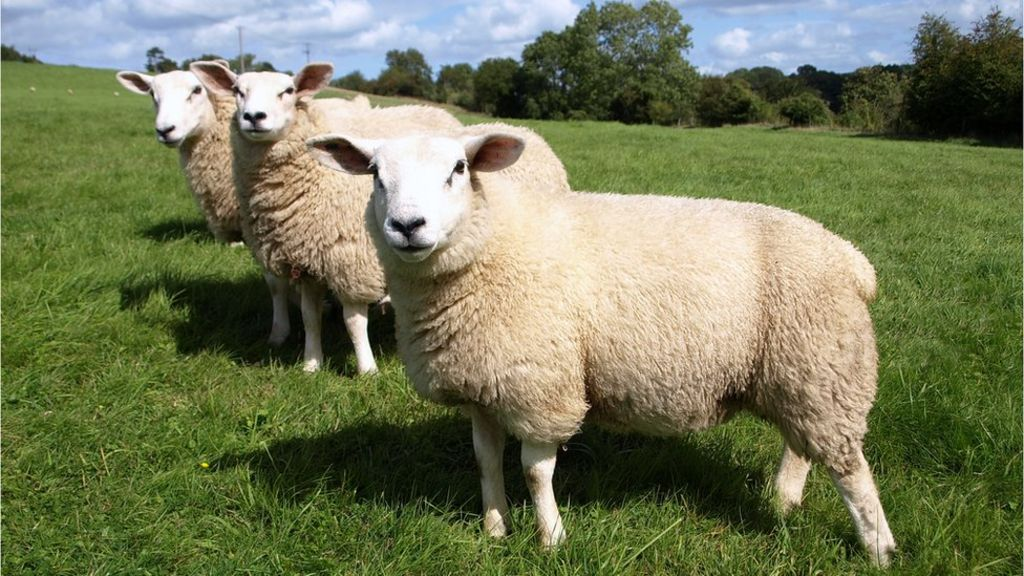 bbc.co.uk - No-deal Brexit 'could wipe out sheep farming in NI