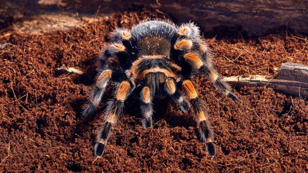 Mexican tarantulas: Canada exports more varieties than