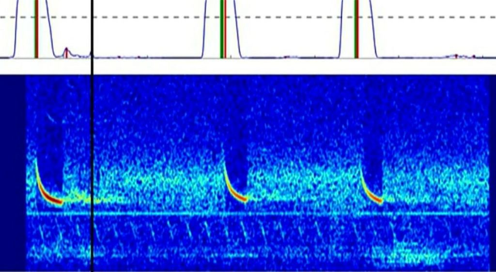 Recording of a bat's sounds in the wild