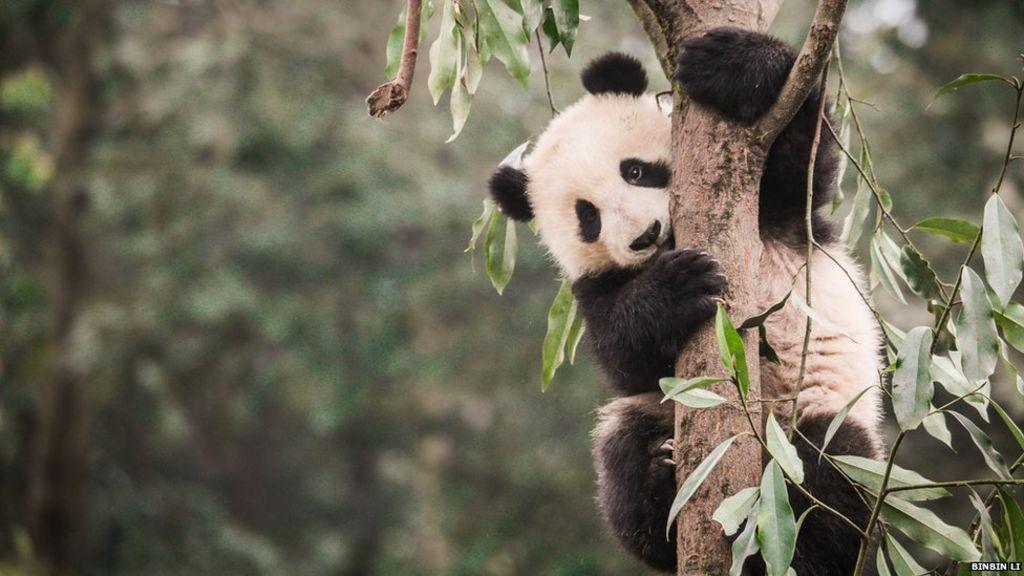 Giant panda's habitat is 'shrinking'