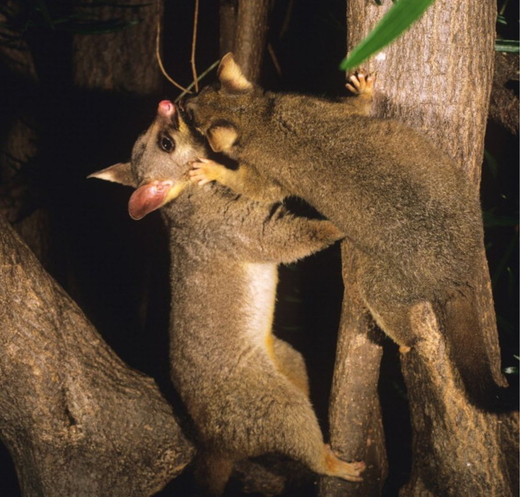 Possums in New Zealand