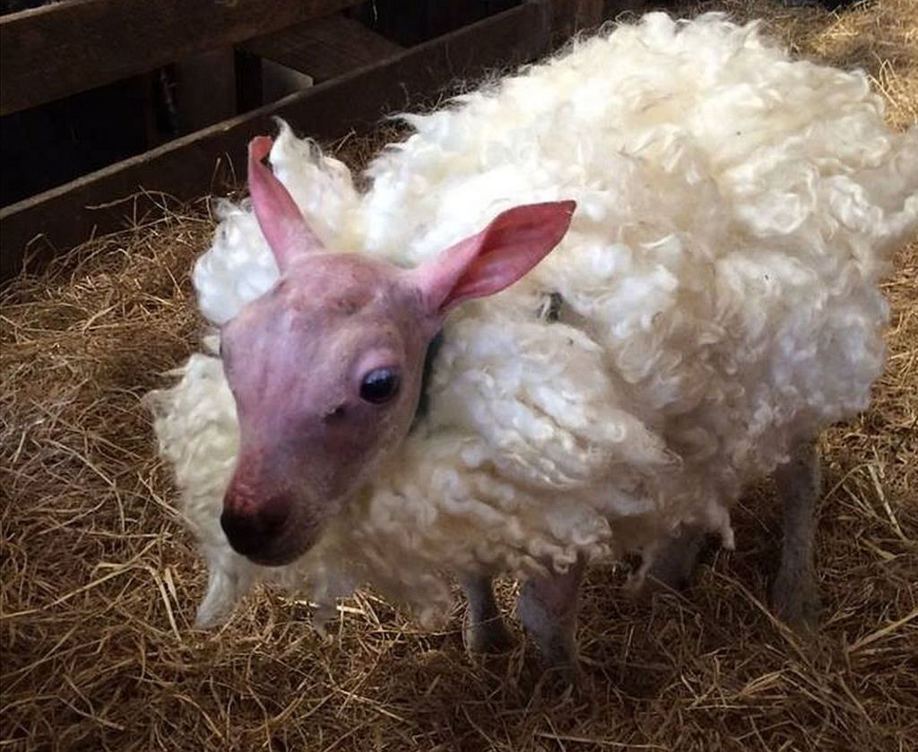 Lamb born with no wool given fluffy fleece - BBC News