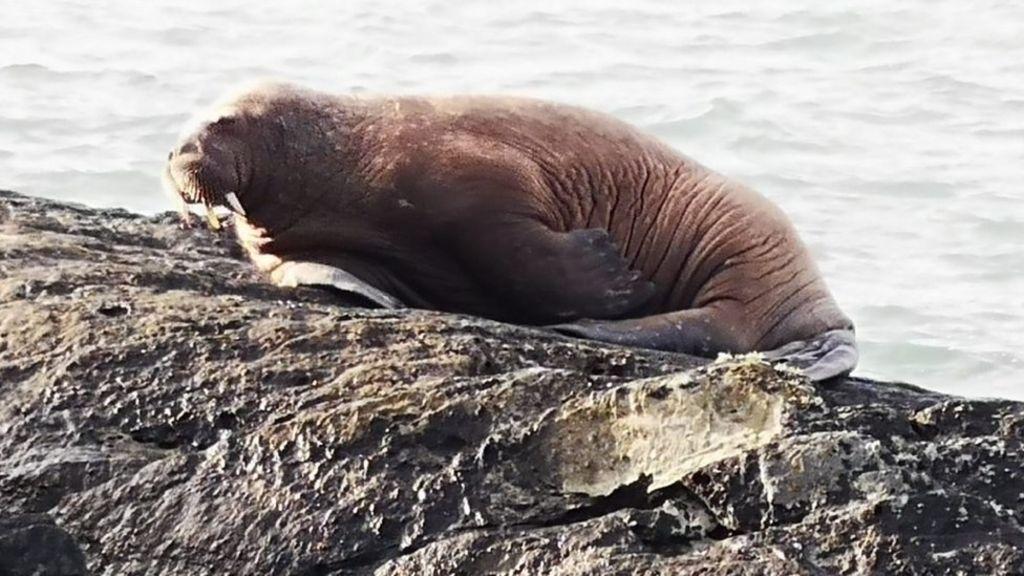 Morsa duerme sobre un iceberg en el Ártico y despierta en Irlanda.