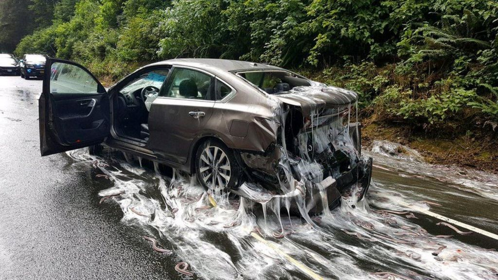 Oregon highway 'slimed' after hagfish lorry overturns – BBC News