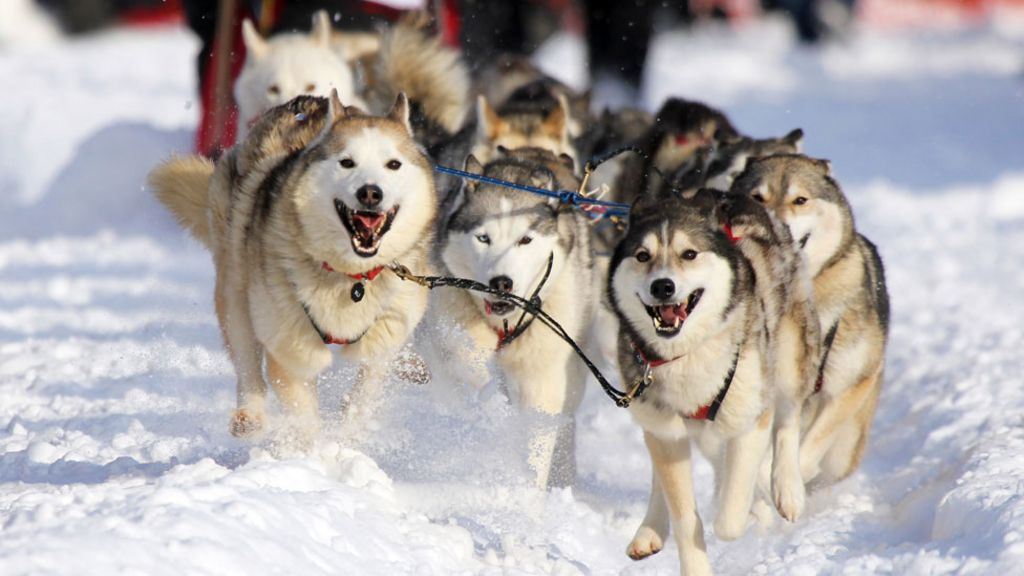 Alaska husky racing threatened by receding ice - BBC News