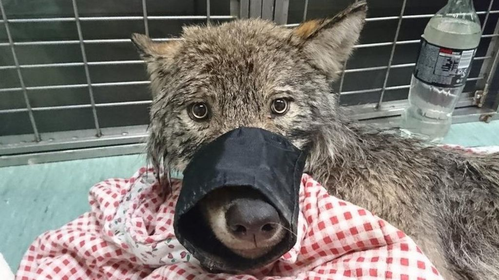 Estonians rescue wild wolf from ice thinking it was a dog