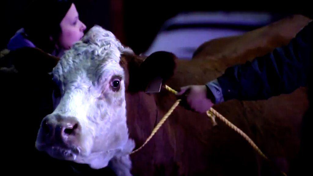 Cow escapes nativity scene - twice