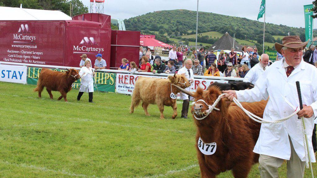 Y gwartheg ar eu gorau // The cattle at their best