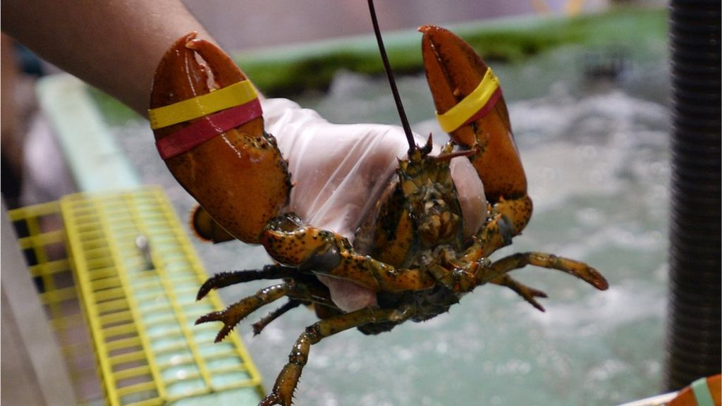 bbc.co.uk - Maine restaurant sedates lobsters with marijuana