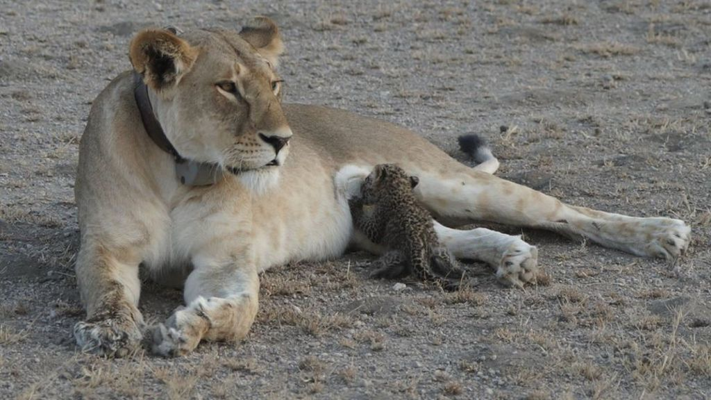 'Truly unique' mother lioness nurses leopard cub in Tanzania - BBC News