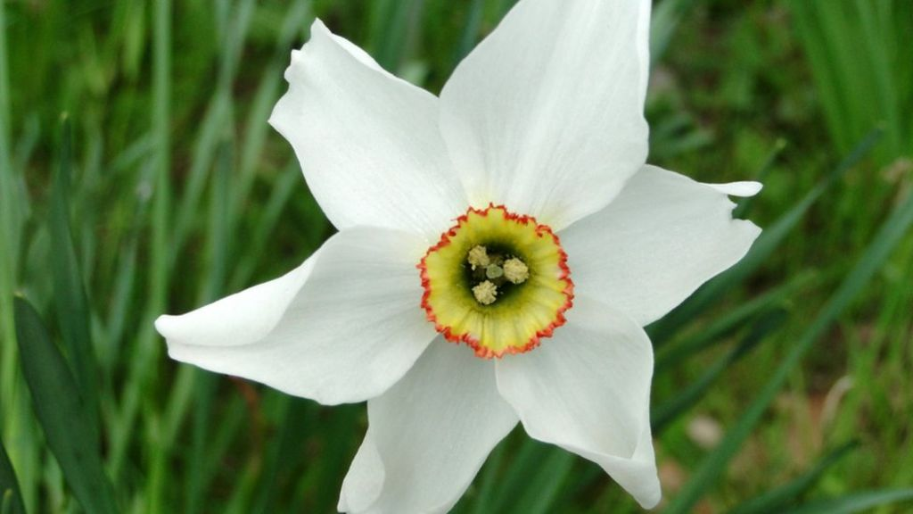 More Interesting Than Food Narcissus >> Revealed The Secret Of The Poet S Daffodil Bbc News