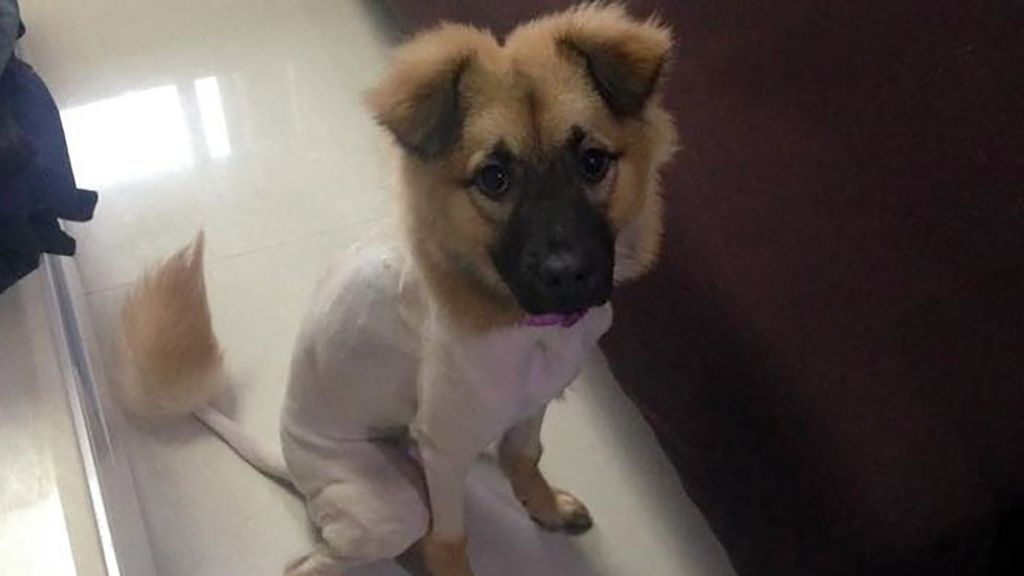 Welshman\u0027s dog shaved bald in Chinese language mix,up , BBC News
