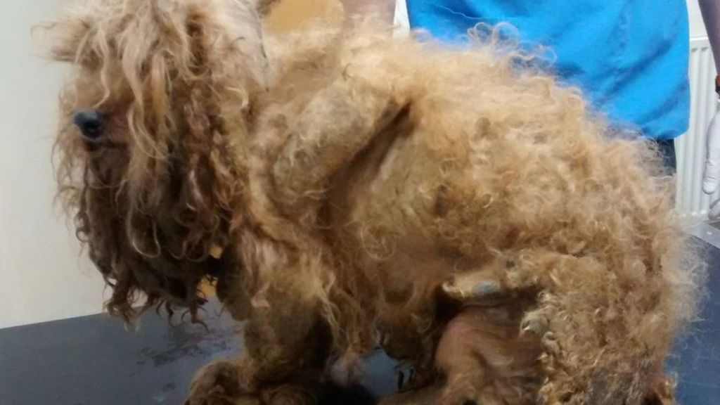 Abandoned dog's 'foot rotted off due to matted fur' - BBC News