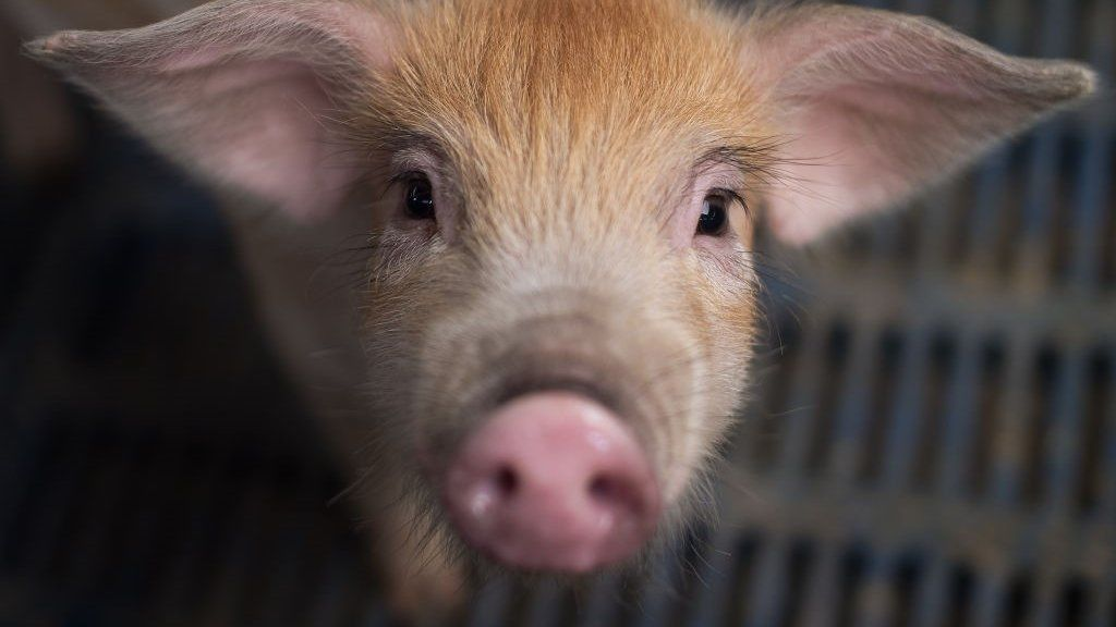 Is China losing the battle against an incurable pig virus? - BBC News