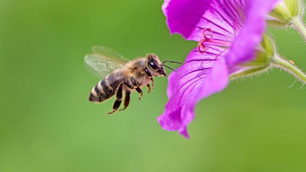 A Bee C: Scientists translate honeybee queen duets - BBC News