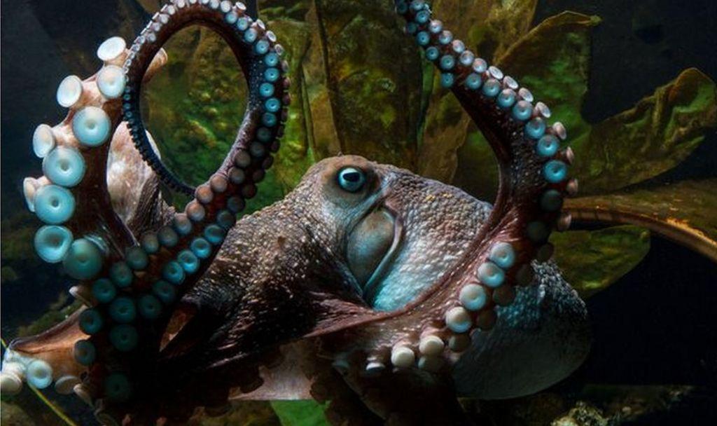 Octopus makes great escape from New Zealand aquarium - BBC News