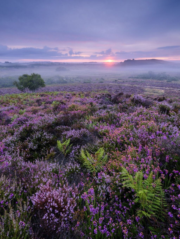 Purple heather in a misty landscape