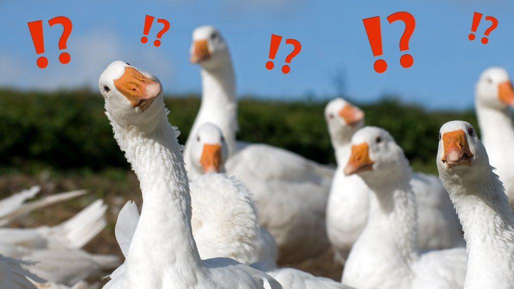 _107275346_geese.jpg