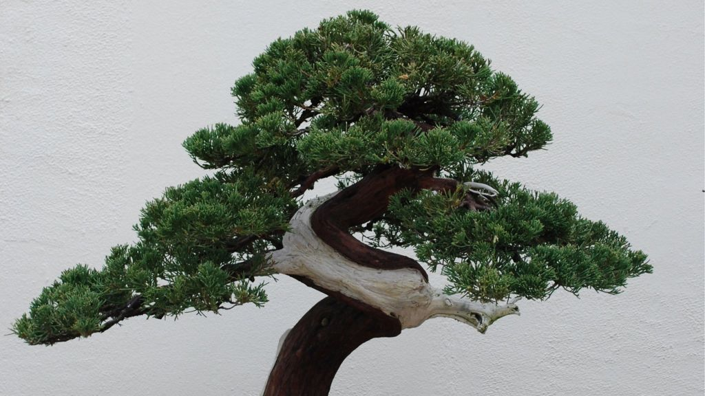 Bonsai Theft Japanese Couple Robbed Of 400 Year Old Tree Bbc News