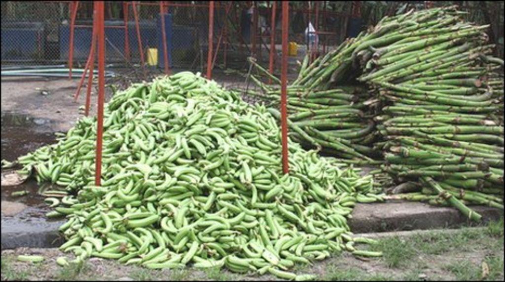 Banana growers in Ecuador fear for their future - BBC News