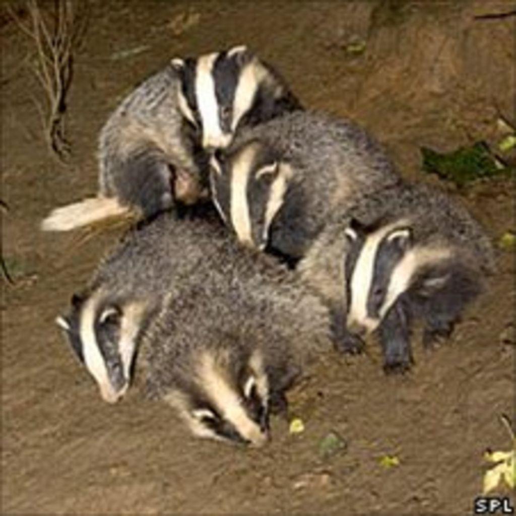 badger cull u0027may worsen problem u0027 bbc news