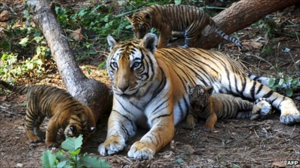 Tiger Löwe