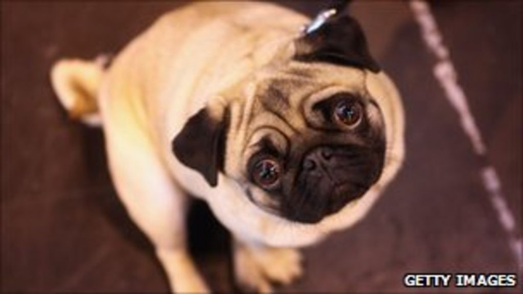 India's Jet Airways fined for death of pugs - BBC News