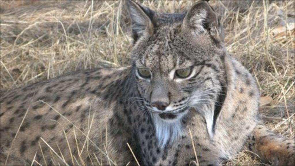 Spanish lynx essay